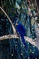 Arara (de veludo) azul.jpg