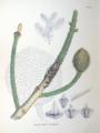 Araucaria cunninghamii SZ139.png