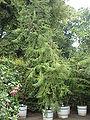 Araucaria heterophylla1.jpg