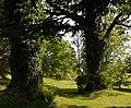 Arboretum du château de Neuvic d'Ussel les vieux chênes.JPG