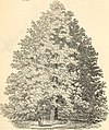 Arboretum et fruticetum britannicum, or - The trees and shrubs of Britain, native and foreign, hardy and half-hardy, pictorially and botanically delineated, and scientifically and popularly described (19756339001).jpg