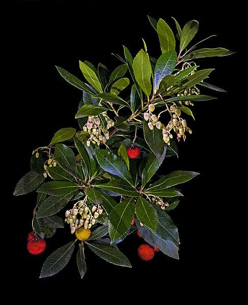 Arbutus unedo Strawberry Tree.  Locatity: Castelnau-d'Estrétefonds,(Haute-Garonne), France