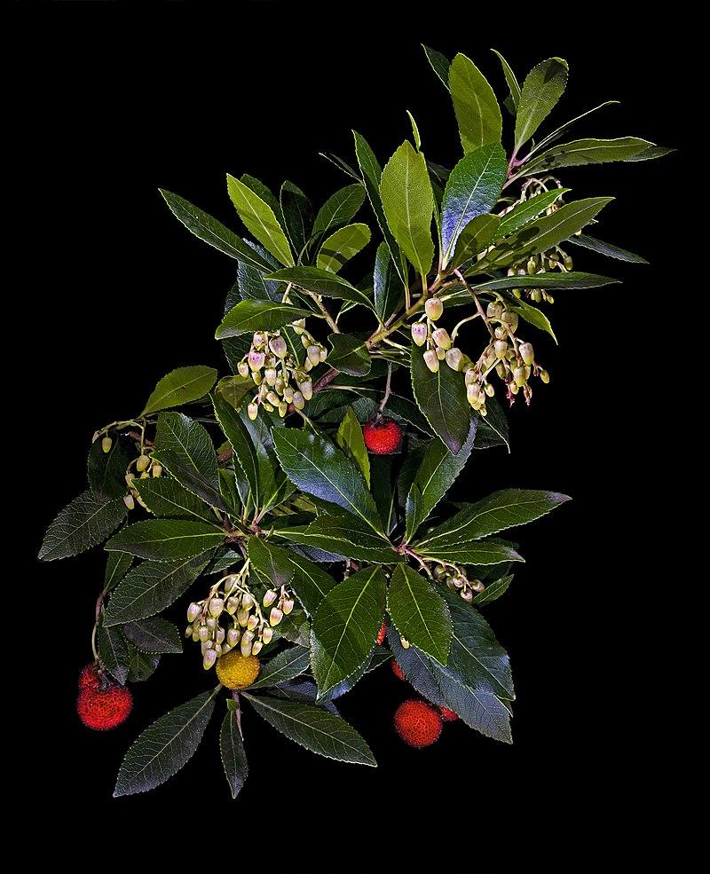 Fruits (arbouses), fleurs et feuilles de l'arbousier (Arbutus unedo).  (définition réelle 4095×5041)