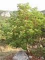 Arbutus andrachne habit (Ab plant 103).jpg