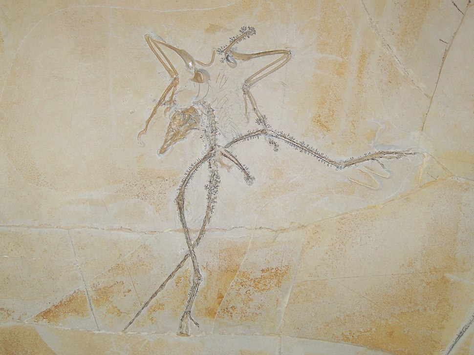 Archaeopteryx ka03