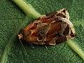 Archips xylosteanus ♂ - Variegated golden tortrix (male) - Листовёртка-толстушка пестрозолотистая (самец) (41256013472).jpg