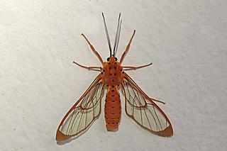 <i>Isanthrene</i> Genus of moths