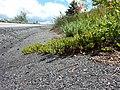 Arctostaphylos uva-ursi - kinninnick - Flickr - Matt Lavin.jpg