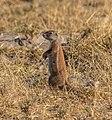 Ardilla terrestre de El Cabo (Xerus inauris), parque nacional Makgadikgadi Pans, Botsuana, 2018-07-30, DD 15.jpg