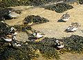 Arenaria interpres flock.jpg