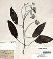 Argyreia acuta Lour., herbier de João de Loureiro, Muséum national d'histoire naturelle-crop.jpg