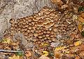 Armillaria mellea 2014 G1.jpg