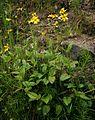 Arnica latifolia 1.jpg
