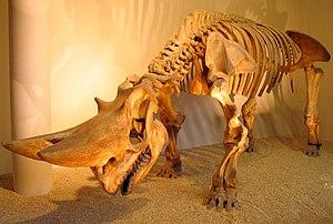 Arsinoitherium - Arsinoitherium zitteli