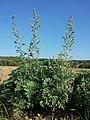 Artemisia absinthium sl5.jpg