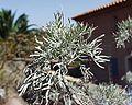 Artemisia arborescens 13102001 Var 2.jpg