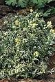 Artemisia mutellina.jpg