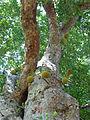 Artocarpus heterophyllus-Jardin botanique de Kandy (1).jpg