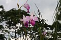 Arundina graminifolia 16zz.jpg