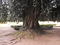 Arvore historica - jardim Palacio Mafra.jpg