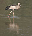 Asian Openbill (Anastomus oscitans) in shallow waters in Kolkata W IMG 4442.jpg