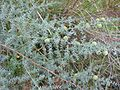 Asparagus acutifolius frutos.jpg