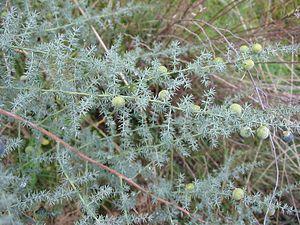Asparagus (genus) - Image: Asparagus acutifolius frutos