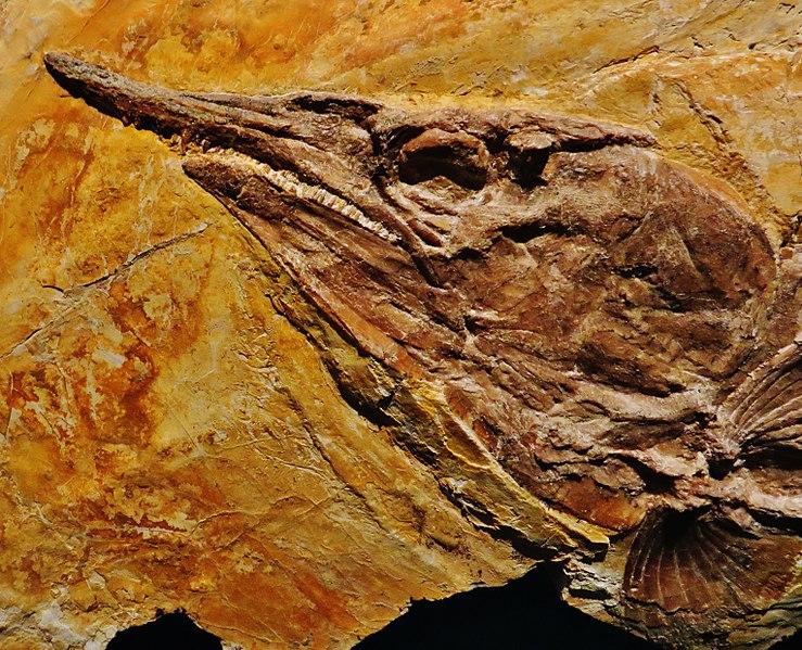 File:Aspidorhynchus agassizi head - Solnhofen, Burgmeister Muller Museum.jpg