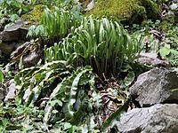 Asplenium scolopendrium americanum CR1934.jpg