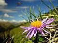 Aster alpinus - Flickr - josef.stuefer.jpg