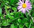 Aster alpinus ENBLA02.jpg