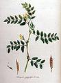 Astragalus glycyphyllos — Flora Batava — Volume v11.jpg
