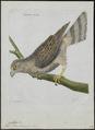 Astur palumbarius - 1790-1796 - Print - Iconographia Zoologica - Special Collections University of Amsterdam - UBA01 IZ18300017.tif