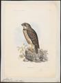 Athene superciliaris - 1868 - Print - Iconographia Zoologica - Special Collections University of Amsterdam - UBA01 IZ18400041.tif