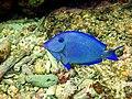 Atlantic Blue Tang (Acanthurus coeruleus).jpg
