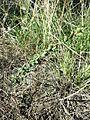 Atriplex intracontinentalis sl5.jpg