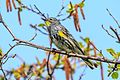 Audubon's Warbler, McQueen Lake O, Kamloops (8882982227).jpg