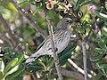 Audubons Warbler Dendroica coronata auduboni winter plumage.jpg