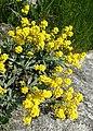 Aurinia saxatilis kz02.jpg
