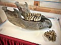 Aurora Mastodon Lower Jaw and Tooth.jpg