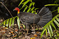 Australian Brush-Turkey - Queensland S4E8479 (22386565465).jpg