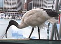 Australian White Ibis Darling Harbour smaller.jpg