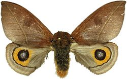 Automeris naranja female.jpg