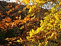Autumn beech leaves, Hembury Woods - geograph.org.uk - 1055994.jpg
