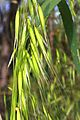 Avena fatua panicle close up.jpg