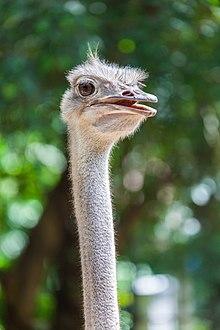 pene del avestruz