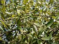 Avicennia marina subsp. marina (7210882954).jpg