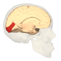 BA17 Primary visual cortex - medial view.png