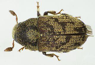 <i>Hylesinus fraxini</i> species of insect