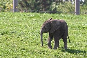 English: baby elephant